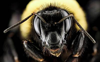 Female Bumblebee Art Print