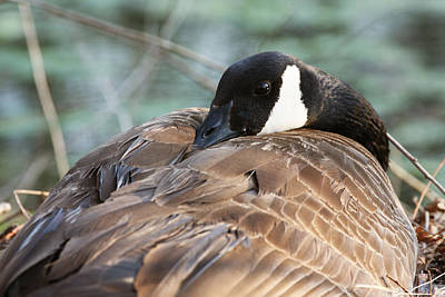 Photograph - Female Canadian Goose Nesting by John Magyar Photography