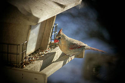Photograph - Female Cardinal 2  by Susan  McMenamin