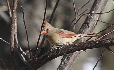 Cardinal Photograph - Female Cardinal Adult by John Covin