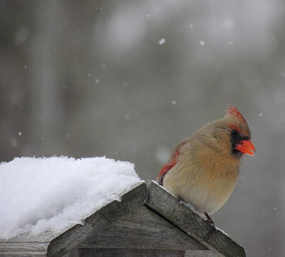 Photograph - Female Cardinal by Amalia Jonas