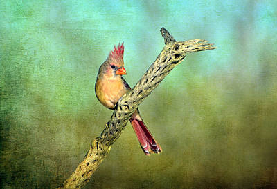 Photograph - Female Cardinal by Barbara Manis
