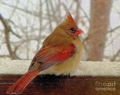 Photograph - Female Cardinal Caught In Snowstorm by Janette Boyd