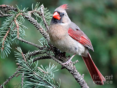 Photograph - Ohio Female Cardinal by Gena Weiser