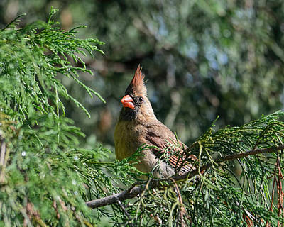 Photograph - Female Cardinal In A Pine Tree 1 by Jai Johnson