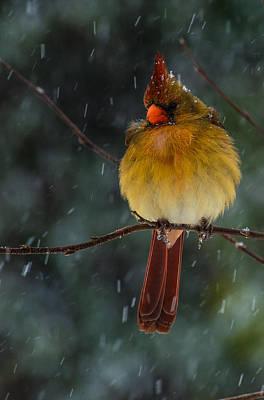 Female Cardinal In A Storm  Art Print by John Harding