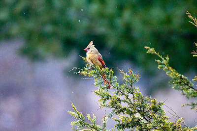 Print featuring the photograph Female Cardinal In Snow by Eleanor Abramson