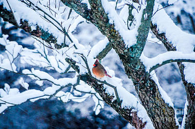 Photograph - Female Cardinal In Snowy Tree by Mary Carol Story