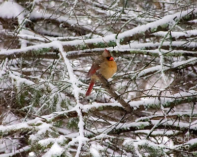 Photograph - Female Cardinal In The Snow by Kristen Fox