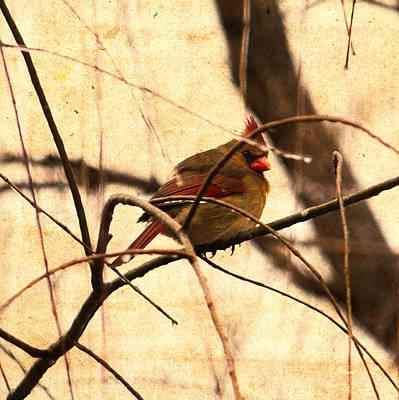 Bird Watching Photograph - Female Cardinal In The Winter Willow by Jon Woodhams