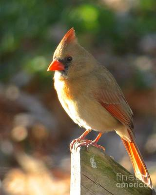 Photograph - Female Cardinal by Jean Wright