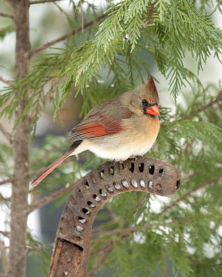 Photograph - Female Cardinal by Robert Camp