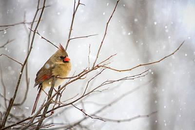 Photograph - Female Cardinal by Robert Clifford