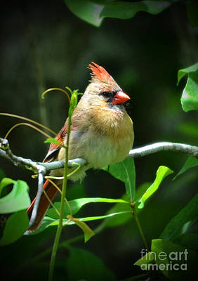 Photograph - Female Cardinal Sitting Pretty by Kathy Baccari