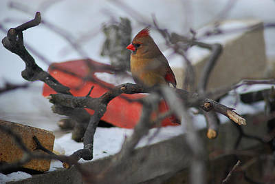 Photograph - Female Cardinal  by Wanda Jesfield