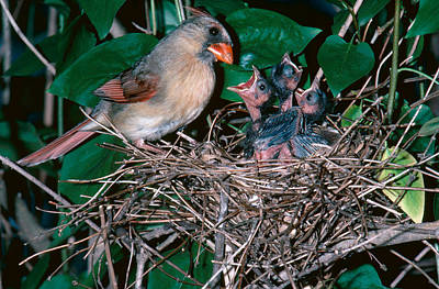 Feeds Chicks Photograph - Female Cardinal With Young by Millard H. Sharp