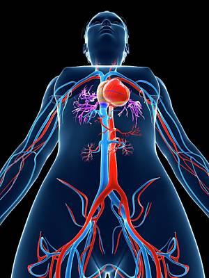 Biomedical Illustration Photograph - Female Cardiovascular System by Sebastian Kaulitzki