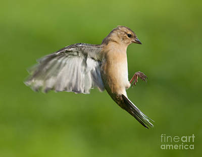 Finch Photograph - Female Chaffinch In Flight by Liz Leyden