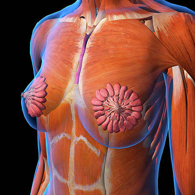 Photograph - Female Chest And Breast Anatomy by Hank Grebe