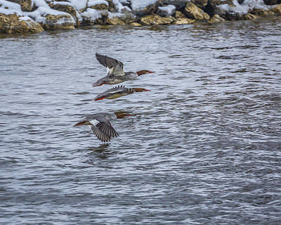 Photograph - Female Common Mergansers by Jack R Perry