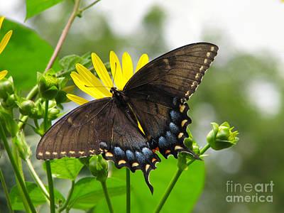 Art Print featuring the photograph Female Dark Form Swallowtail Butterfly  by Eva Kaufman