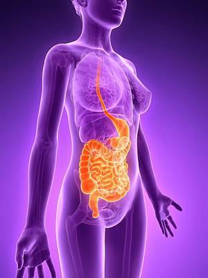 Biomedical Illustration Photograph - Female Digestive System by Sebastian Kaulitzki