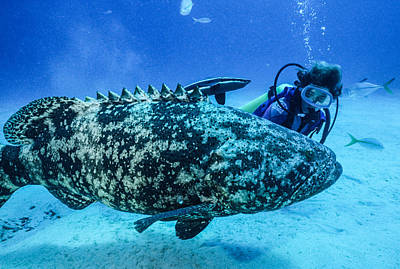 From The Kitchen - Female diver beside a 400 lb grouper by Robert McAlpine