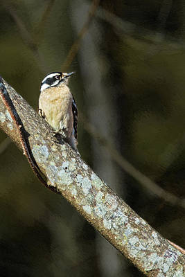 Painting - Female Downy Woodpecker by John Haldane