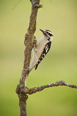 Picoides Pubescens Photograph - Female Downy Woodpecker On A Tree by Tom Patrick