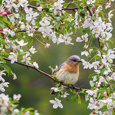 Birds With Flowers Photograph - Female Eastern Bluebird Square by Bill Wakeley