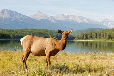 Grazing Elk Photograph - Female Elk (cervus Canadensis) by Ashley Cooper