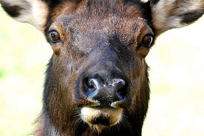 Photograph - Female Elk Close-up by Marilyn Burton