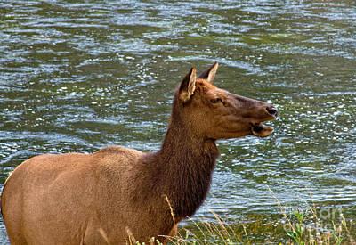 Photograph - Female Elk II by Stuart Gordon
