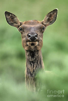 Photograph - Female Elk Portrait Yellowstone National Park Wyoming by Dave Welling