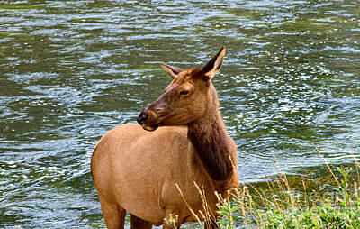 Photograph - Female Elk by Stuart Gordon