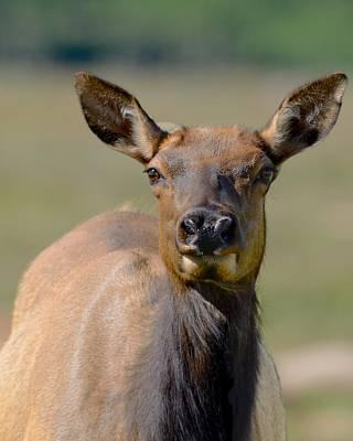 Female Elk Art Print