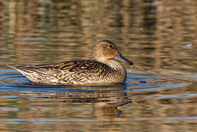 Photograph - Female Gadwall Duck by Kathleen Bishop
