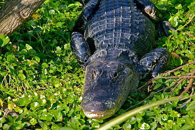 Photograph - Female Gator by Denise Mazzocco