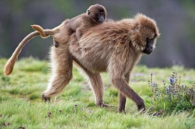 Caring Mother Photograph - Female Gelada Baboon Carrying Her Infant by Tony Camacho