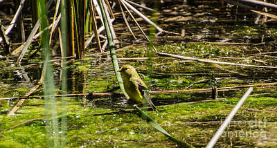 Photograph - Female Gold Finch Drinking by Donna Brown