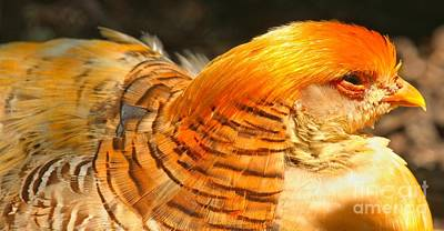 Photograph - Female Golden Pheasant At Rest by Adam Jewell