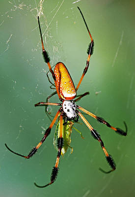 Photograph - Female Golden Silk Spider Eating An by Millard H. Sharp