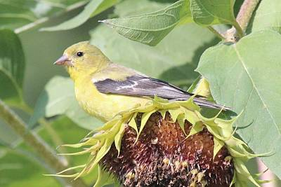 Photograph - Female Goldfinch Sitting On A Sunflower by Lucinda VanVleck