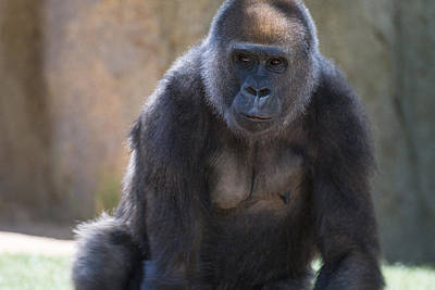 Ape Photograph - Female Gorilla by Garry Gay