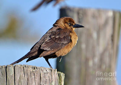 Photograph - Female Grackle Sunbathing by Kathy Baccari