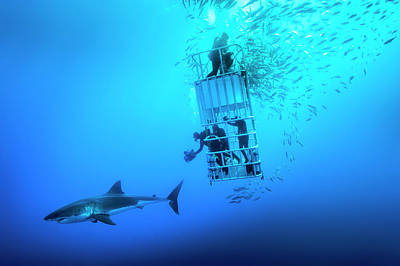 Cage Diving Photograph - Female Great White Shark, Carcharodon by David Doubilet