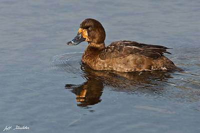 Wildlife Photograph - Female Greater Scaup by Jeff Goulden
