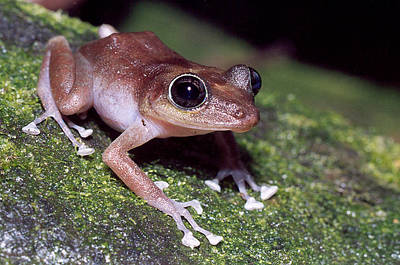 Coqui Photograph - Female Guajon by USFWS/Science Source