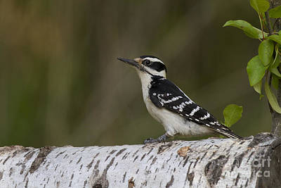 Hairy Woodpecker Photograph - Female Hairy Woodpecker by Linda Freshwaters Arndt