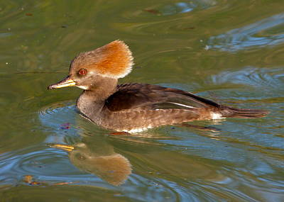 Photograph - Female Hooded Merganser by Jean Wright